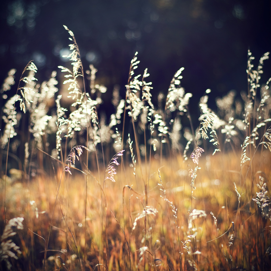 Grass in Golden Hour