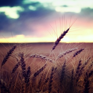 Sunset behind wheat