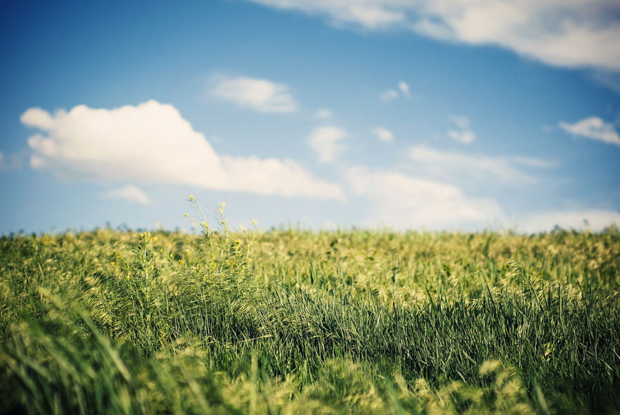 Green grass in a field with blue skies