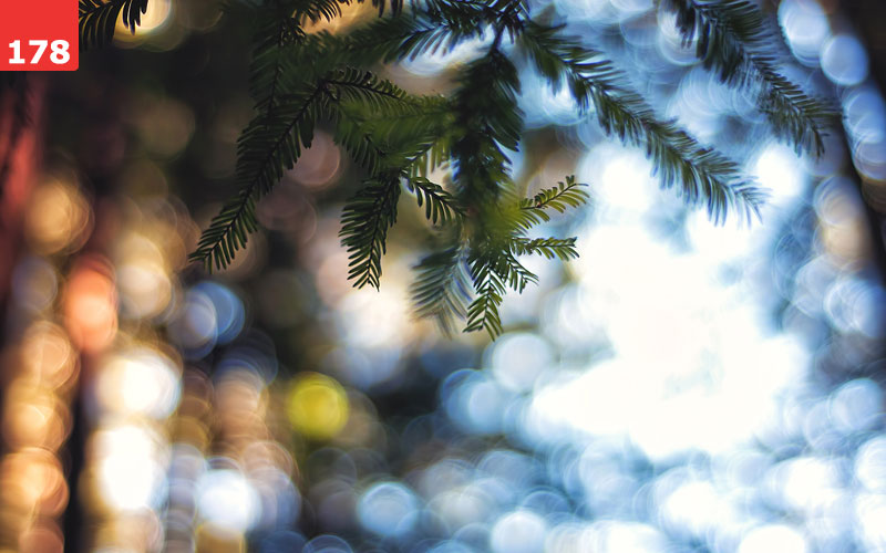Bokeh in forest behind pine tree branch