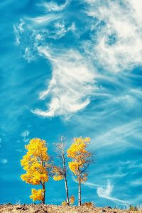 Yellow Trees in front of a blue sky in Autumn