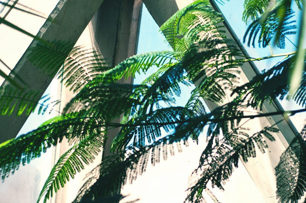 Palm Tree Fronds in Greenhouse