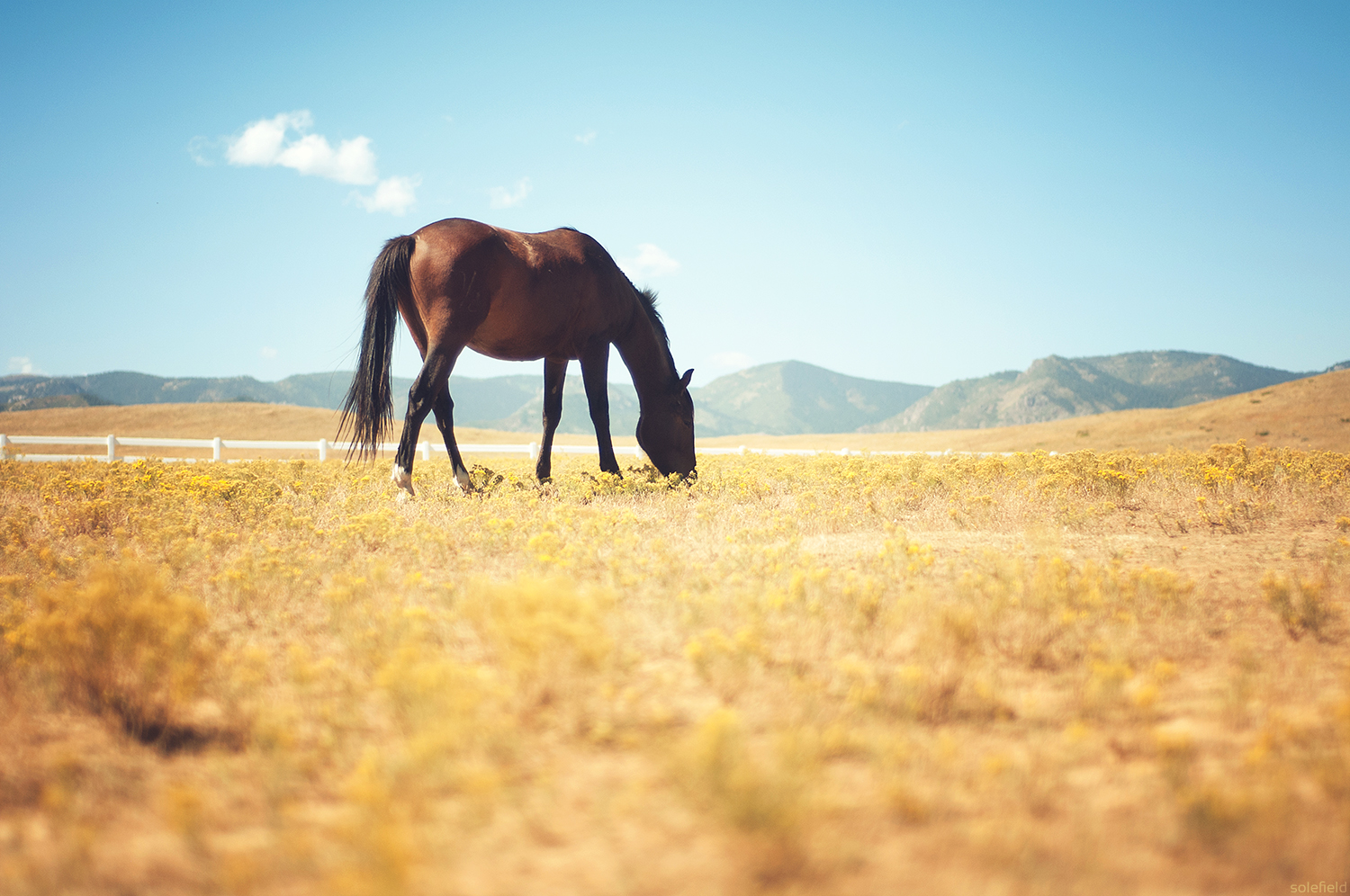 Bay Horse Grazing in Pasture