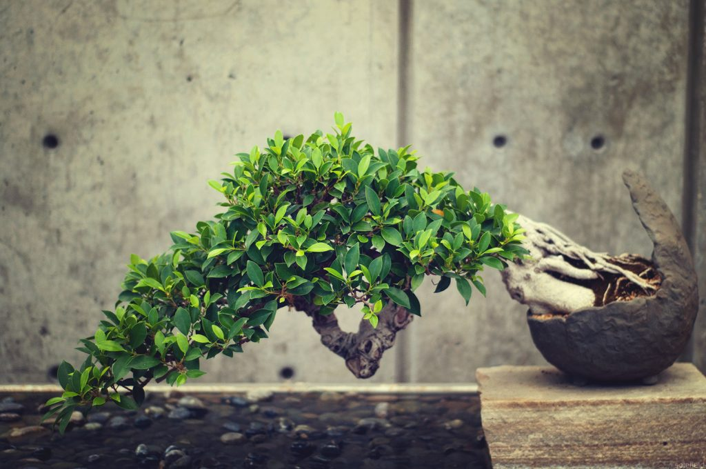 Bonsai tree in front of grey wall