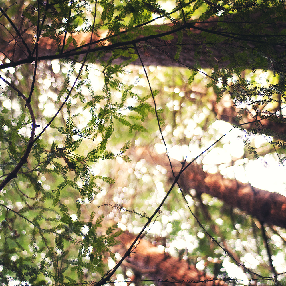 Looking up at pine trees