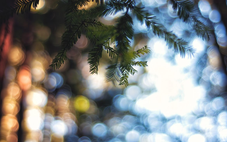 Bokeh light through pine trees