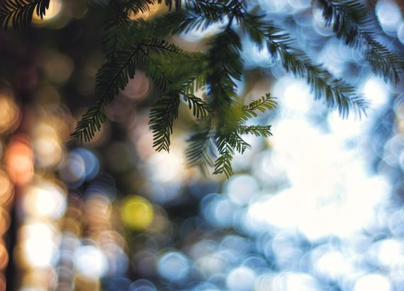 Bokeh light through pine trees